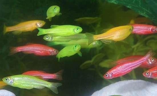 fluorescent-glofish