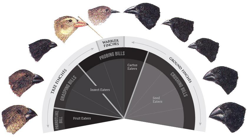 darwin-finches-chart