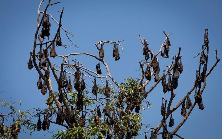 bat-hanging