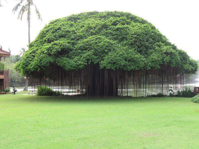 banyan-tree