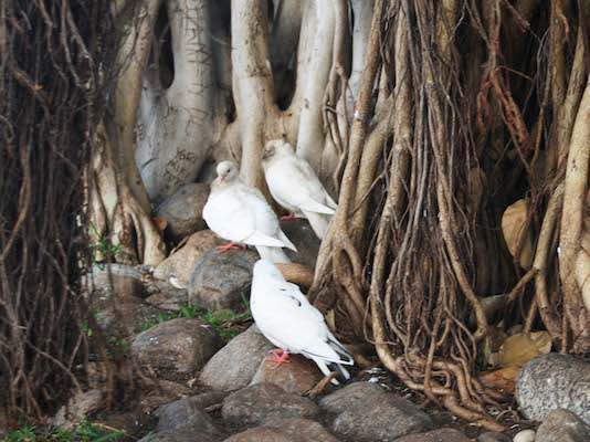 birds-banyan-tree